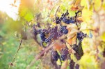 Ripe Grapes in Vineyard