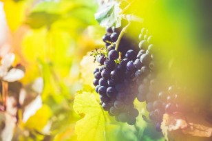 Ripe Wine Grapes in Vineyard Field