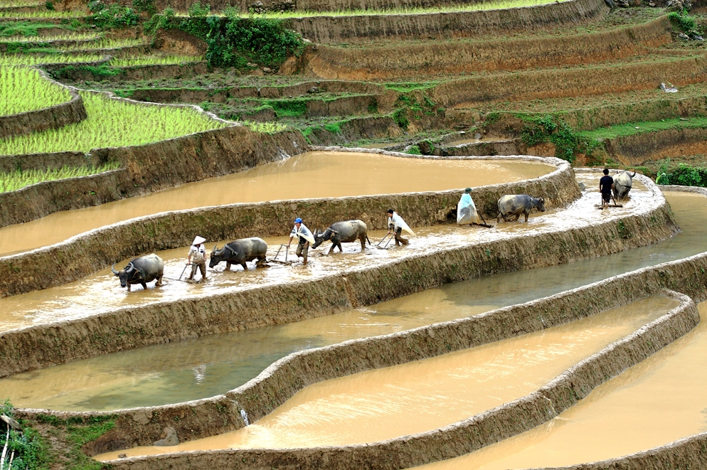 ZOxen Paddy