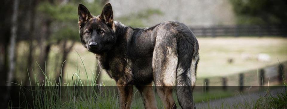 Zwinger Von Der Bauerhof German Shepherds Client Testimonials