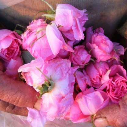 Bio rosa damscena Alteya