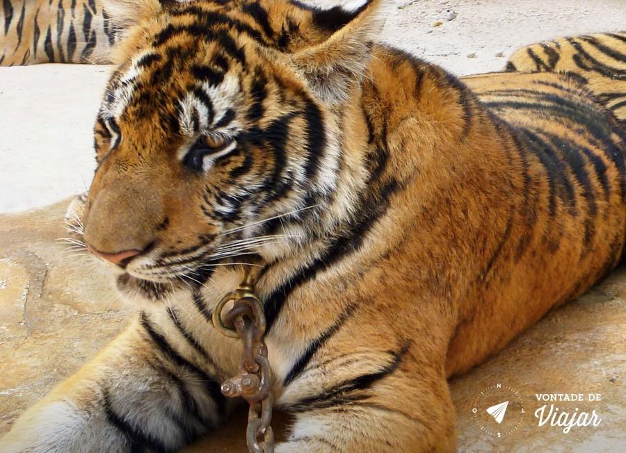 day-trip-bangkok-tiger-temple-tigre-tailandia