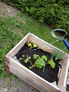 Und weil ich schon im Garten bin, kann ich auch gleich das gestern gesetzte Gemüse giessen