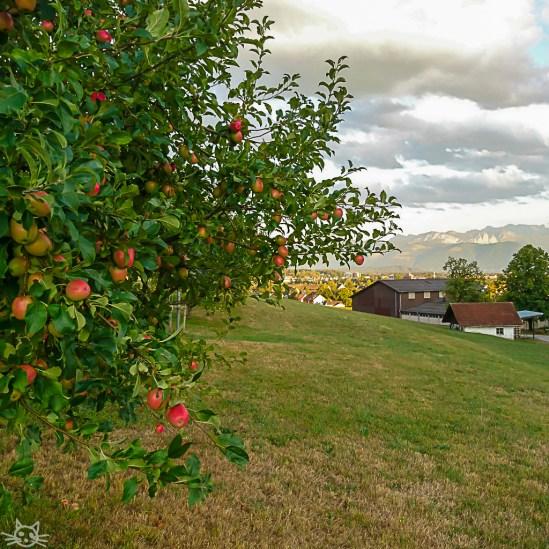 Am Abend geht es nochmal raus, an vollen Apfelbäumen vorbei