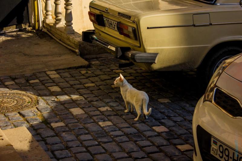 Кошки Баку