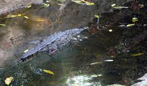 Rescata Profepa a cocodrilo de río adulto y libera 7 crías en Chiapas