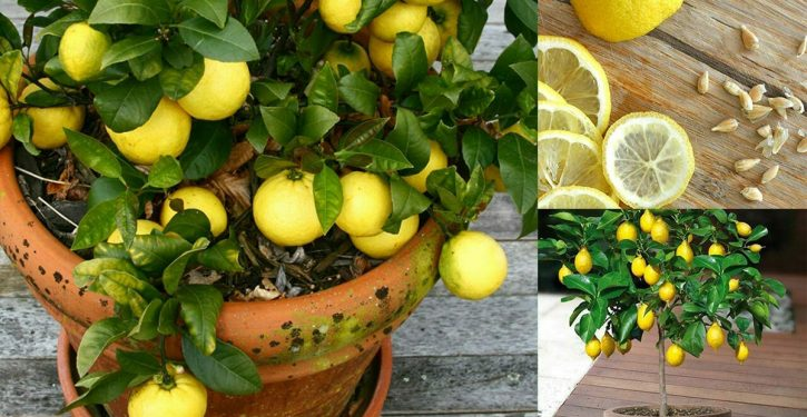 Voici comment cultiver un nombre illimité de citrons dans votre propre cuisine