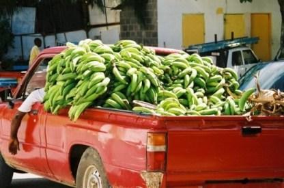 Culture de la banane