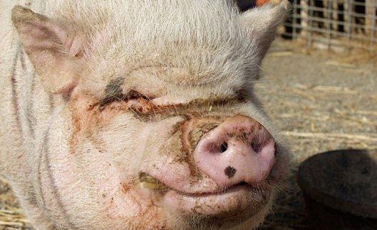 160613 pig
