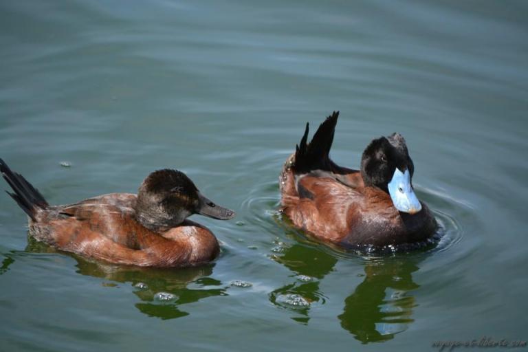 Le canard à bec noir et le canard à bec bleu