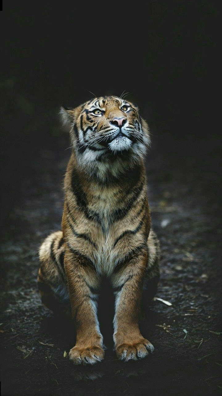 wallpaper et fond d'écran tigre animal félin animaux