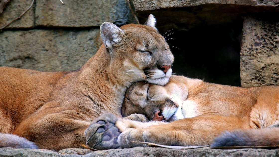 wallpaper et fond d'écran puma animaux animal félins tendresse amour