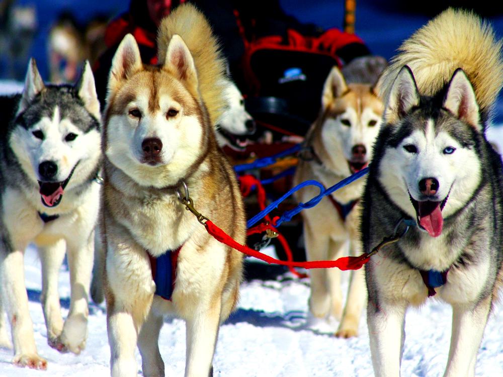Dogsledding1