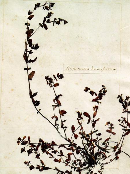 Millepertuis dans un des herbiers de Rousseau, Abbaye de Chaalis © Abbaye de Chaalis, Institut