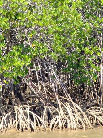 les 1ères mangroves