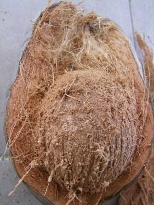 1ère coco ramassée coupée