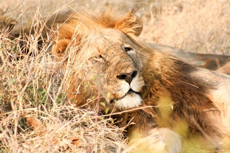 lion-male-endormi-madikwe-afrique-du-sud