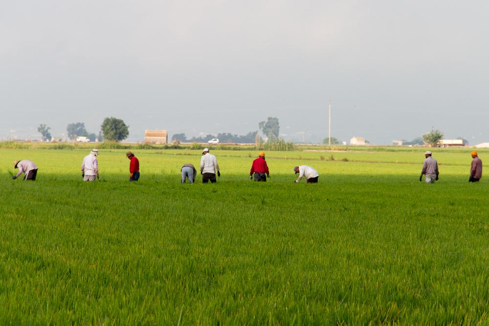 rizières delta de l'ebre