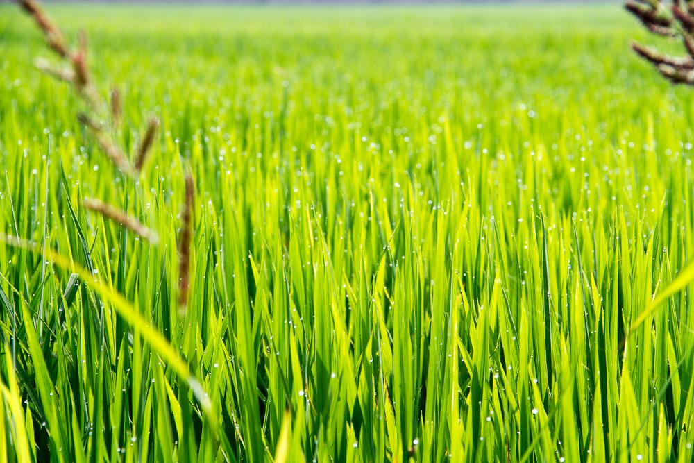 Delta de l'ebre riziere