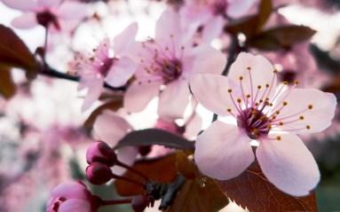 Jean-Marc Gyphjolik rapporche les fleurs de cerisiers de notre vision
