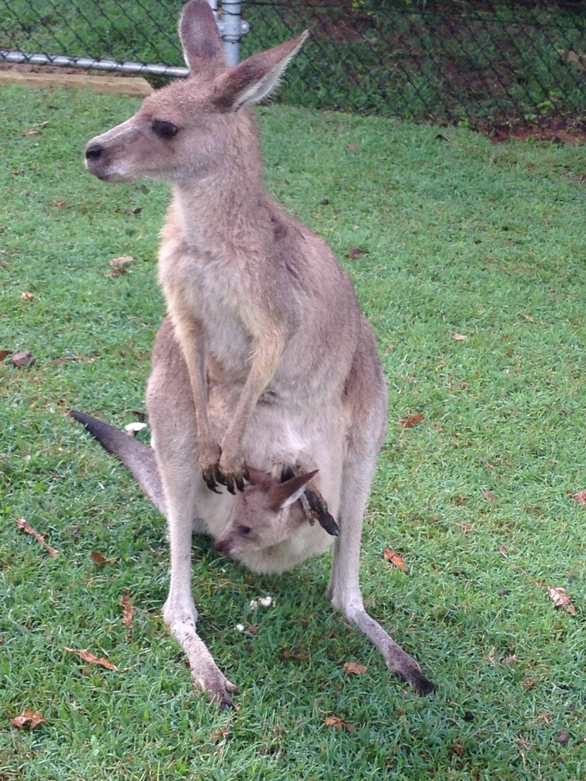 Lone Pine australie