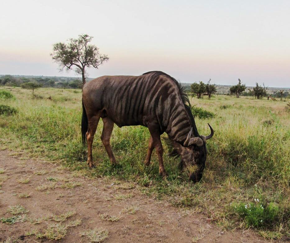Gnou-afrique-du-sud