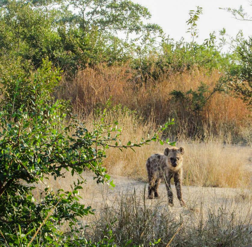 Hyène-Afrique-du-Sud