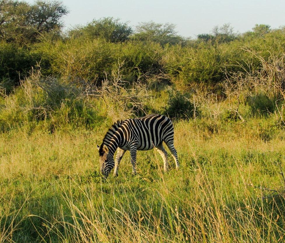 zebre-afrique-du-sud