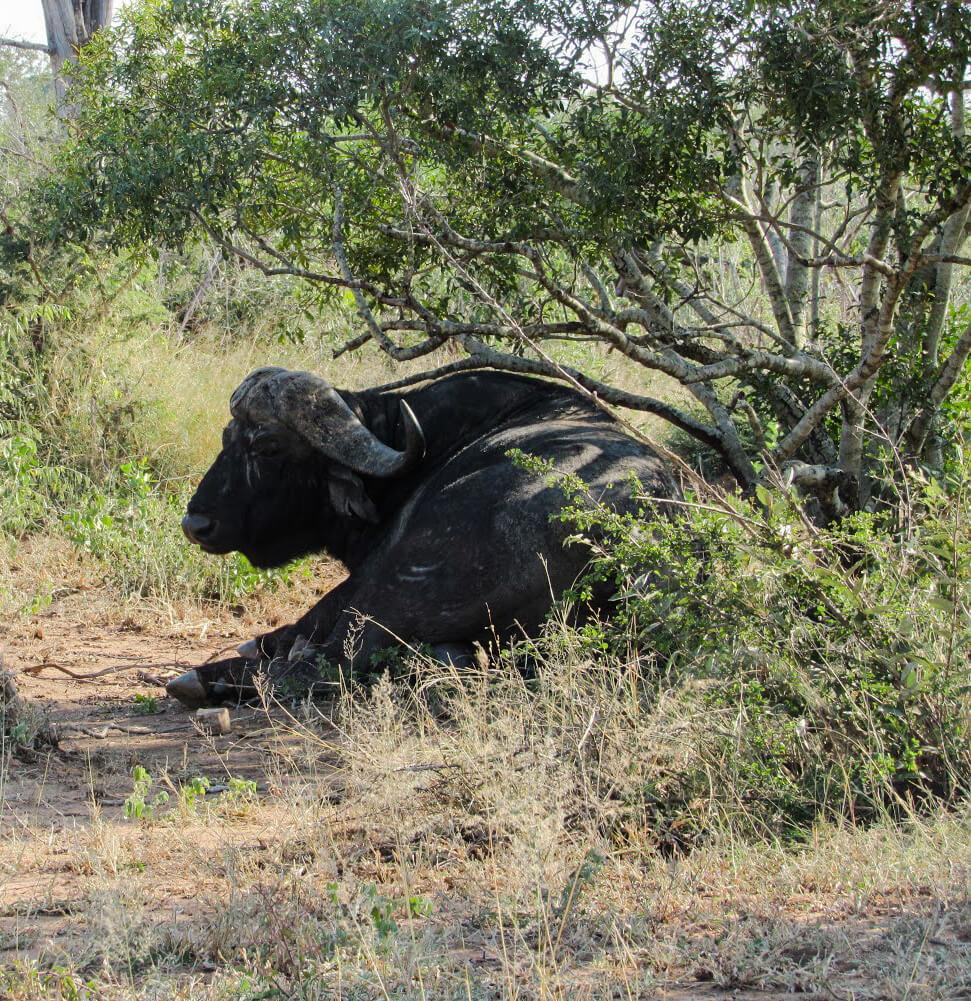 Big5-Buffle-Afrique-du-Sud