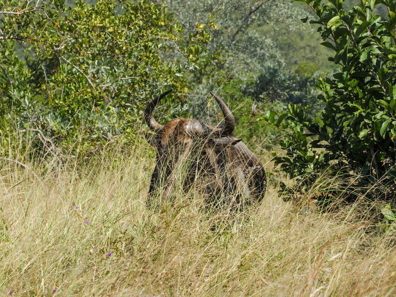 buffle-afrique-du-sud