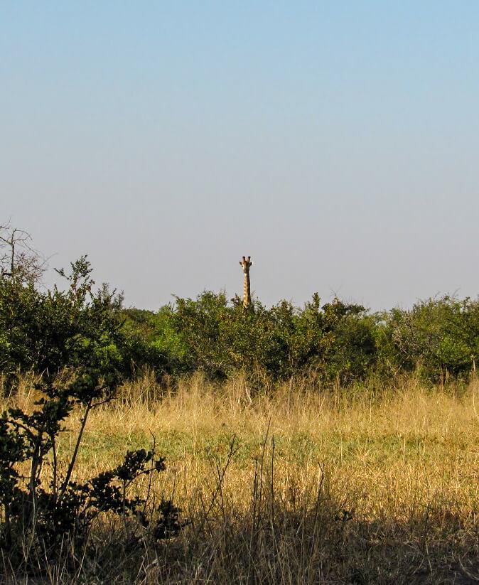 Girafe-Afrique-du-Sud