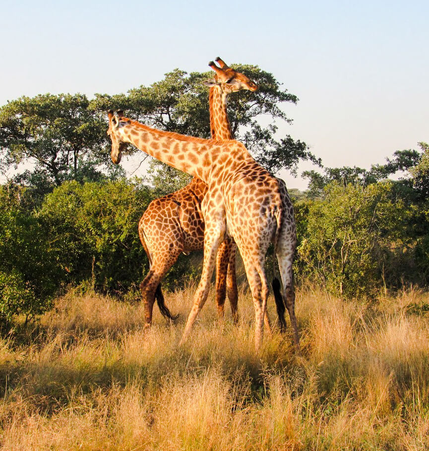 girafes-afrique-du-sud