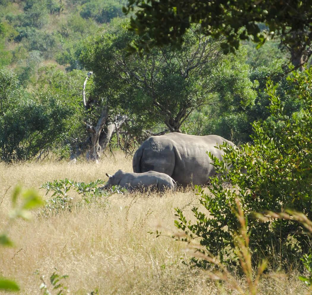 rhinoceros-et-bebe-afrique-du-sud