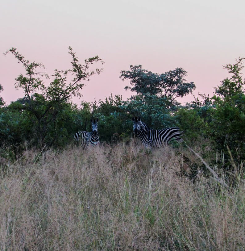 Zebres-Afrique-du-Sud
