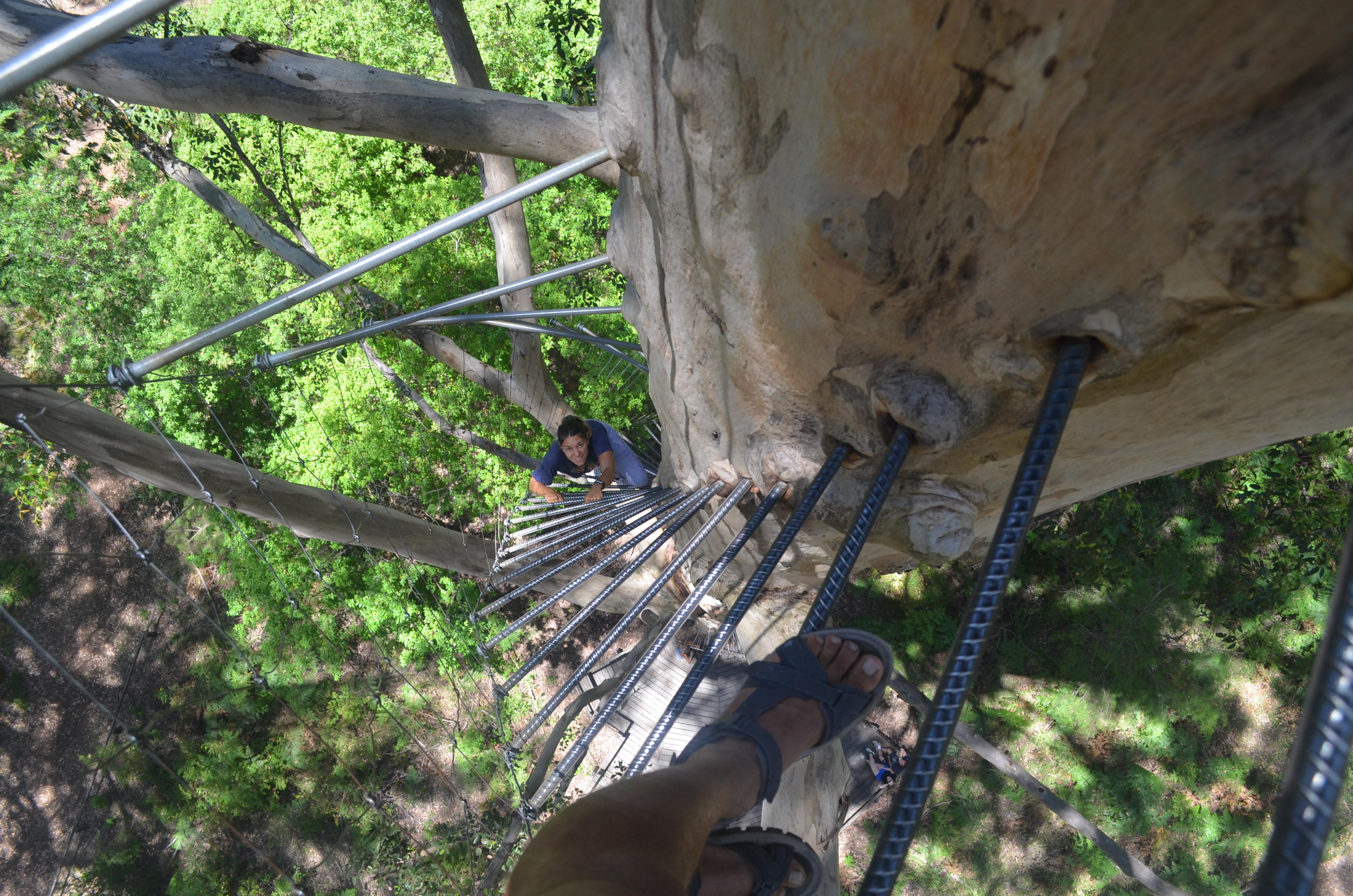 Montée du Gloucester Tree (Pemberton), 53m de haut