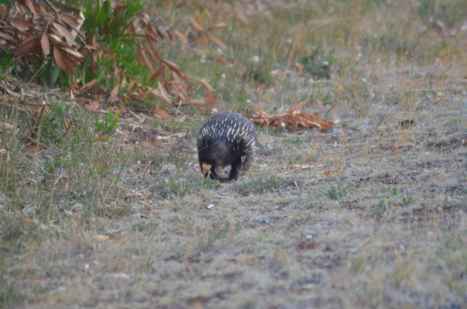 Animaux d'Australie : échnidés