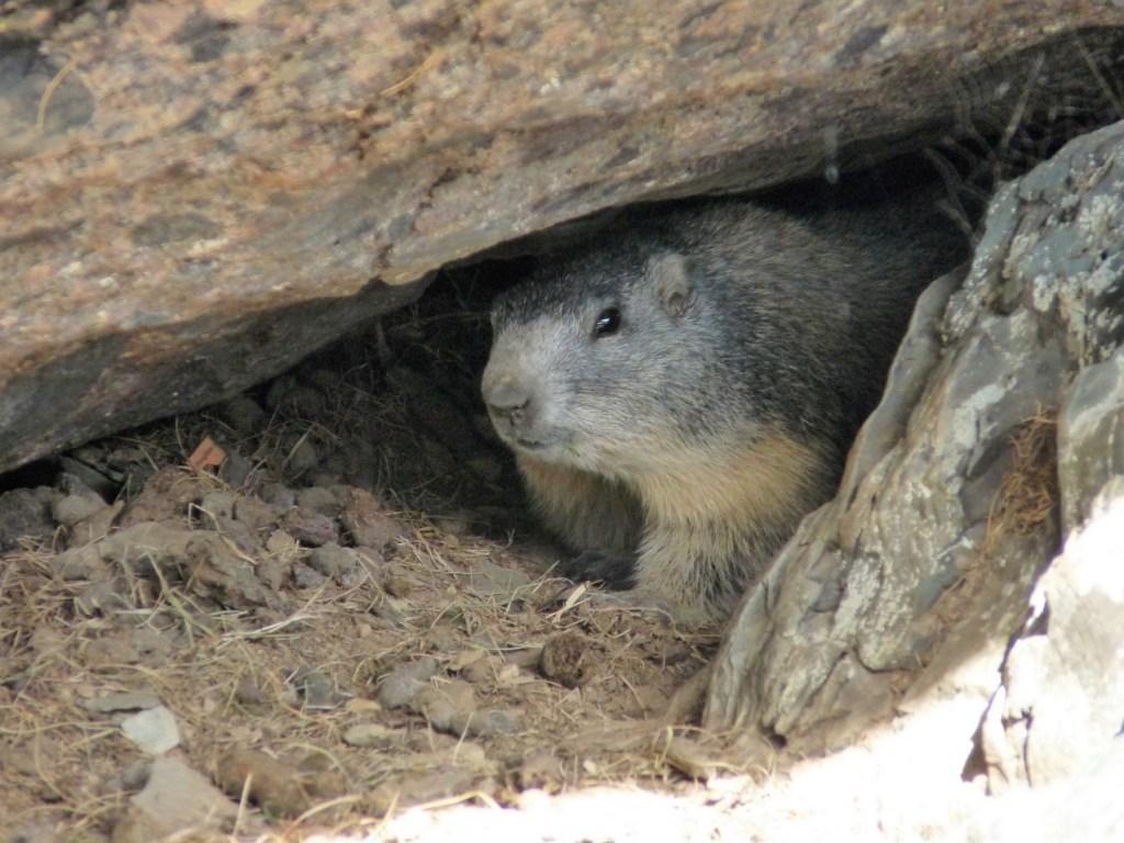 Marmotte au vallon de Fontanalba