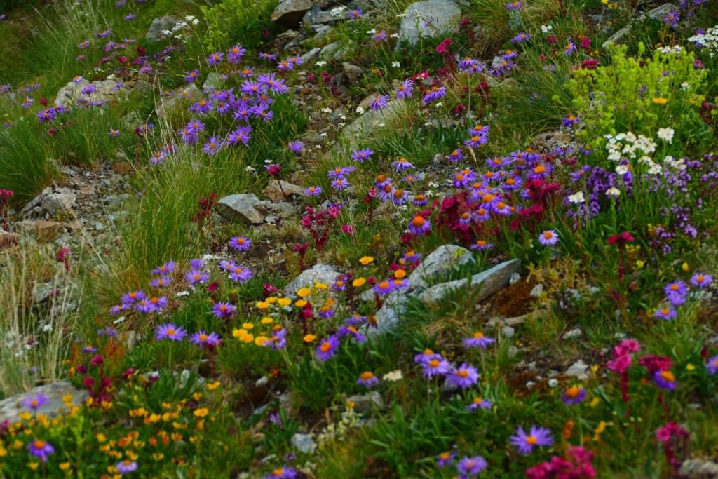La Madone de Fenestre - fleurs des montagnes