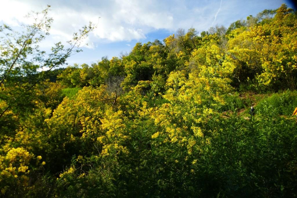 Forêt de Mimosas - Le Grand Duc