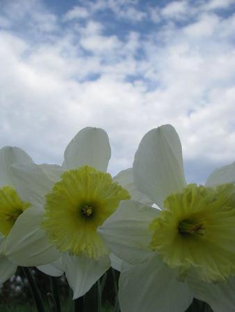 309ae 51514319 p Les fleurs printanières du Gers