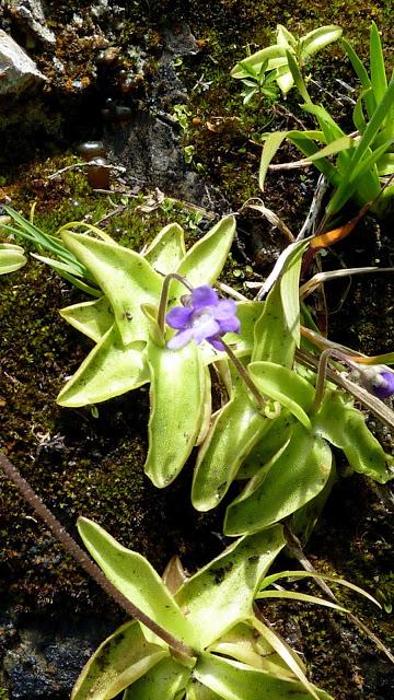 Fleurs des Alpes : Découvrir les arbres, plantes et fleurs de la flore alpine 23