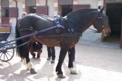 cheval calèche