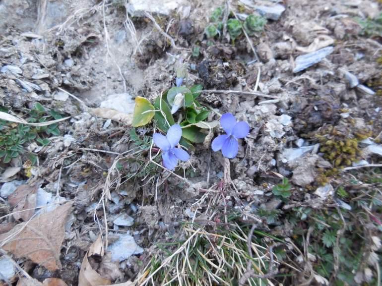 1ères fleurs annonciatrices du printemps... (Viola hirta = violette hérissé)