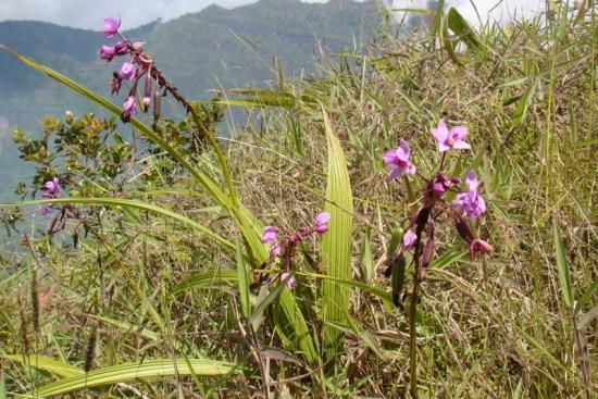 tahiti-orchidees-sauvages.1274258055.JPG