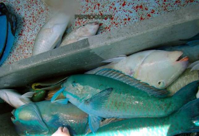 b2f88abe31 poissons perroquets Pêcher à Tahiti ; techniques de pêche et traditions de pêcheurs en Polynésie