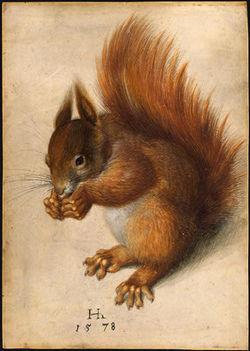 Un écureuil roux, par Hans Hoffmann(aquarelle et gouache, 1578)