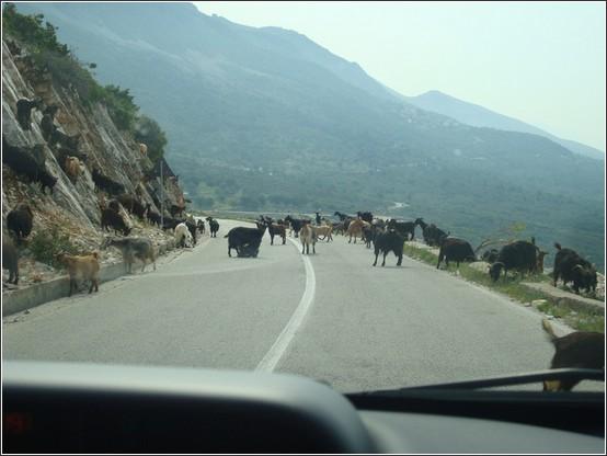 Albanie troupeaux