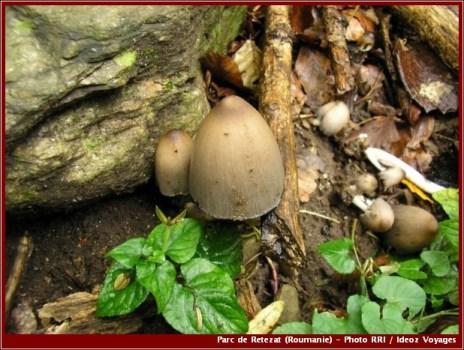 Retezat champignons