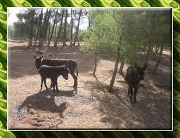 pompoms anes maroc
