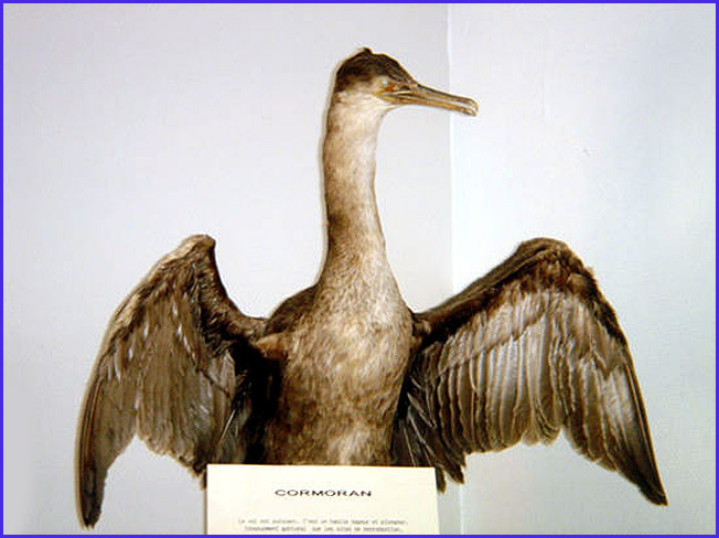 carantec musee maritime cormoran empaille